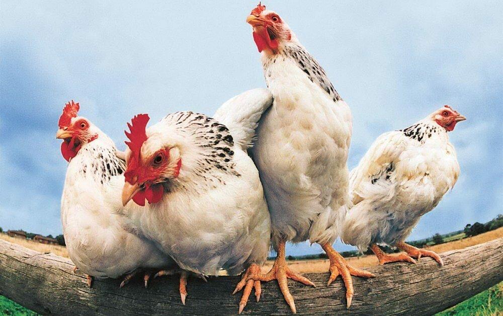 Евросоюз разрешил экспорт птицы сУкраины